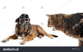 belgian sheepdog german shepherd mix purebred belgian sheepdog malinois cat angry stock photo 109136714