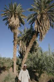 file bur palm tree jpg