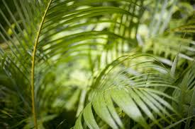 Plants That Grow In Tropical Rainforests Image Of Greens Fronds Of A Cane Palm Freebie Photography