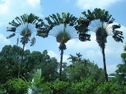 photos of palm trees oak tree ideas