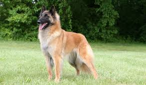 belgian sheepdog breeders belgian tervuren history personality appearance health and pictures
