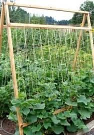 Growing Cucumbers Up A Trellis Vegetable Garden Archives An Oregon Cottage