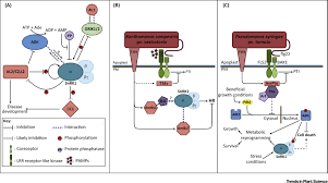 the snrk1 energy sensor in plant biotic interactions trends in