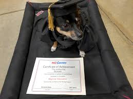 dog graduation cap and gown graduation day beginner education chez muñequita