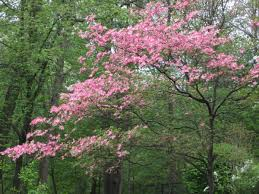 boston plant of the week the dogwood tree the home depot community