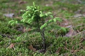 a small fir tree stock photo image of forest small 10404030
