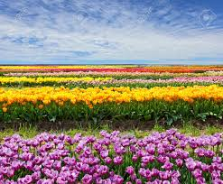 field of flowers images u0026 stock pictures royalty free field of