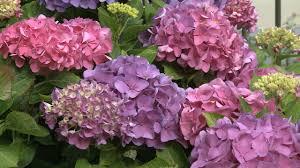 hydrangea why didn u0027t my hydrangeas bloom southern living