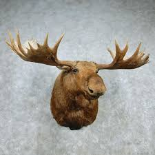 alaskan moose head for sale 12783 the taxidermy store