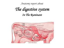the digestive system in the ruminant anatomy report about