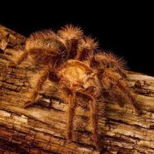 ghost ornamental tarantula 3 to 4 inch strictly reptiles