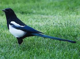 black billed magpie pica hudsonia