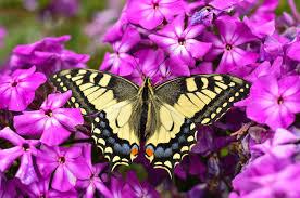 butterfly spirit totem