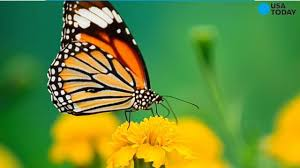 there will be fewer monarch butterflies this year 22 million fewer