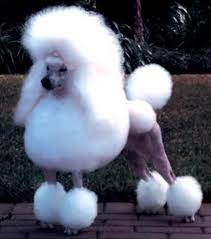 pictures of poodle haircuts miniature poodle puppy with beautiful poodle haircuts picture jpg