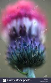 cirsium rivulare atropurpureum ornamental thistle atropurpureum is