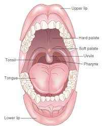 Nose Anatomy And Physiology Airway Anatomy And Physiology Clinical Essentials Paramedic