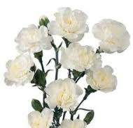 bulk carnations bulk carnations wholesale flowers carnations white