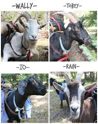 Get Your Goat Rentals by Backpacking With Kids Made Easy Thanks To Pack Goats Nature For Kids