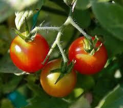 how to grow cherry tomatoes growing cherry tomato plants