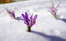 free images nature blossom snow leaf flower purple petal