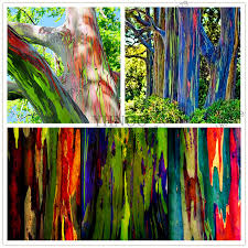 Rainbow Eucalyptus Online Buy Wholesale Rainbow Eucalyptus Seeds From China Rainbow