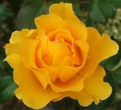 golden roses golden tribute