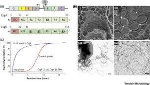 my curli bacterial amyloid formation structural insights into curli