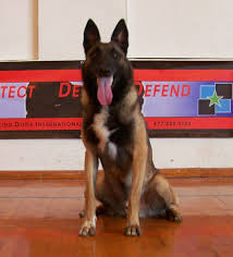 belgian sheepdog for sale in texas texas k9 leap grant tx police k9 u0027s for sale official k9