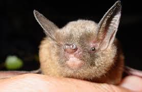 new zealand short tailed bats native animal conservation