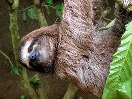 Sloth Whisper Meme - whispering sloth