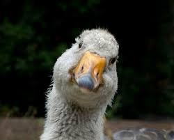 Goose Meme - create meme goose goose meme goose goose pictures meme