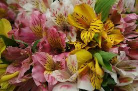 peruvian lilies 100 blooms of peruvian lilies fresh cut format