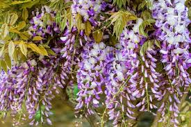 Fragrant Flowers Most Fragrant Wisterias