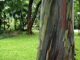 natural wonders the rainbow eucalyptus tree of the philippines