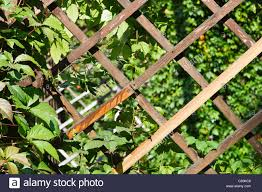 close up view of a garden trellis wooden planks and green leaves