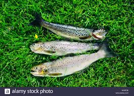 rainbow brown trout freshly caught fish scotland ireland lying on