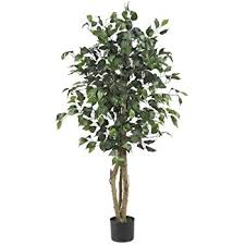 nearly 5209 ficus silk tree 6 green