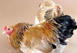 chicken hen bird images desktop backgrounds wallpapers