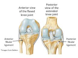 Anterior Distal Tibiofibular Ligament Is The Knee In Danger In A Figure 4 Position U2014 Sara Doyle Yoga