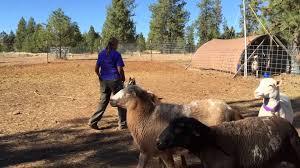 belgian sheepdog herding belgian shepherd first time herding youtube