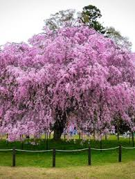 buy flowering cherry trees the tree center
