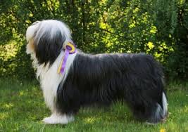 bearded collie x terrier bearded collie black cooper kennel