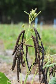 hardest plant to grow beans articles gardening know how