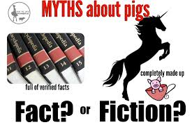 common myths about pigs mini pig info