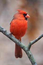 birds of new york tanagers cardinals and grosbeaks