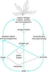 nitrogen immobilization article about nitrogen immobilization by