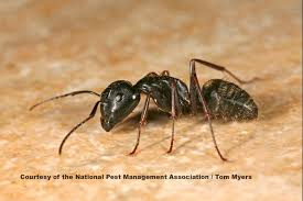 Ants In The Bathroom by White Footed Ants How To Get Rid Of White Footed Ants