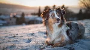 australian shepherd wolf view topic dog x wolf hybrid rpg with moon chicken smoothie