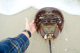 Delaware long travel images How to see a zillion horseshoe crabs spawning in the delaware bay jpg